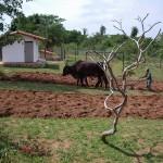 Gartenumpflügen mit Ochsengespann