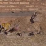 Geburt Lamm mit Mutter