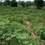 Mandiokapflanzen