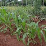 Maispflanzen